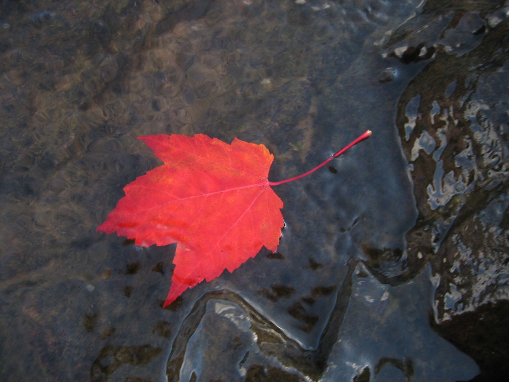 Gooseberry Falls Leaf