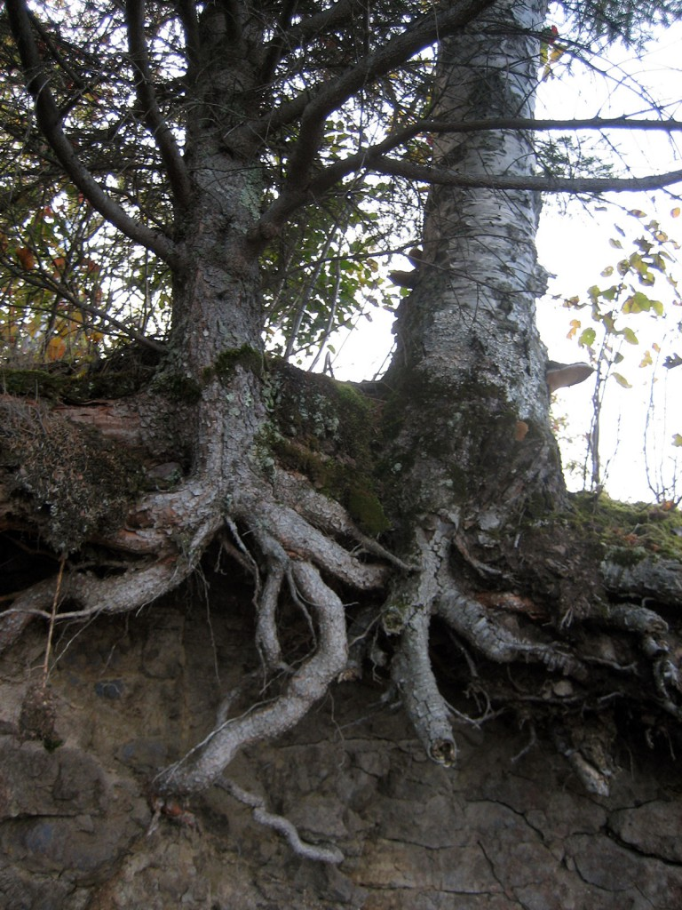 Gooseberry Falls Tree Roots